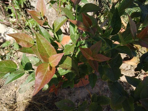 Mirtileiro Chandler - Vaccinium myrtillus (mirtilos gigantes).