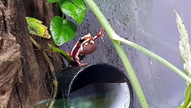 Epipedobates anthonyi / tricolor Drzewoła, żaba promocja lipiec