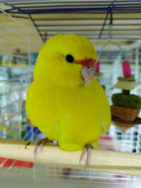 Какарик, прыгающий попугай, ручной попугай