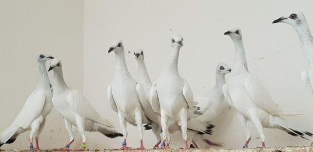 ptaki ozdobne srebrniak polski