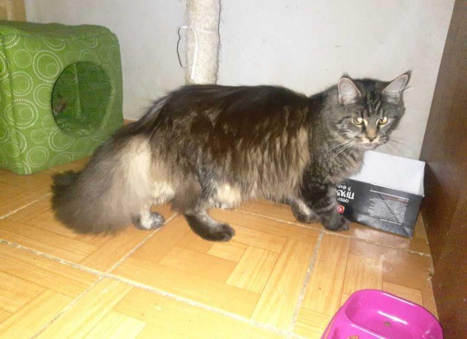 Отдам кошку мейн-кун по цене стерелизации Одесса - изображение 1