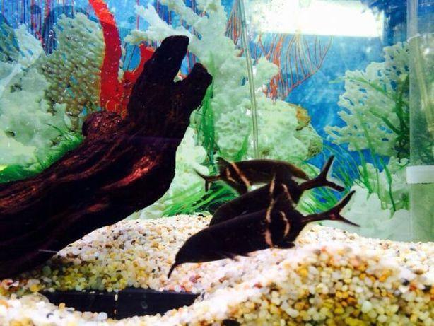 Mruk nilowy Gnathonemus petersii 8-10cm od 3 sztuk po 30 zl