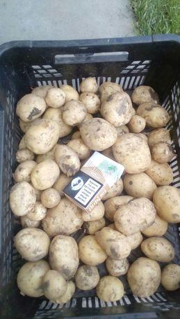 Картопля молода Рів'ера