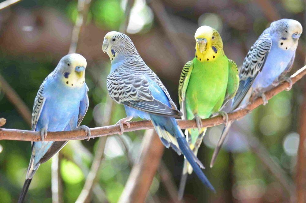 Хвилясті    папуги Опарипсы - изображение 1