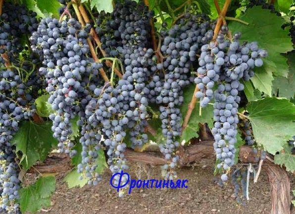 Черенки технических сортов винограда, для северных регионов