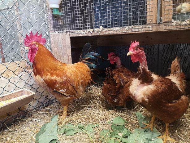 Ovos galados raça de carne e boas poedeiras