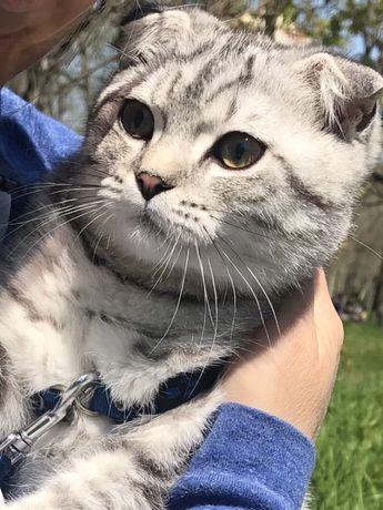 Муж для вашей кошечки ,котик скоттиш
