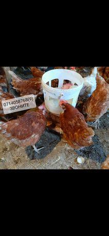 Куры несушки Красные Ломен 8 мес С Доставкой на дом