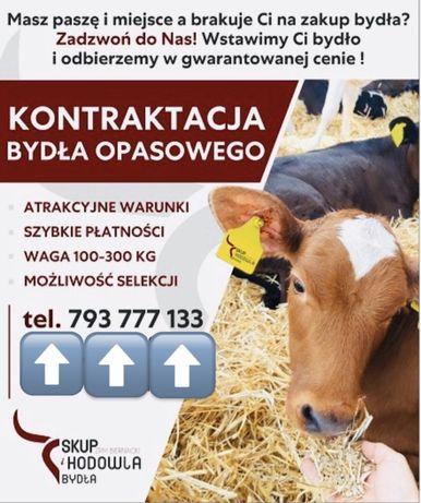 Bydło/Kontraktacja Bydła opasowego/Towar najlepszej klasy/