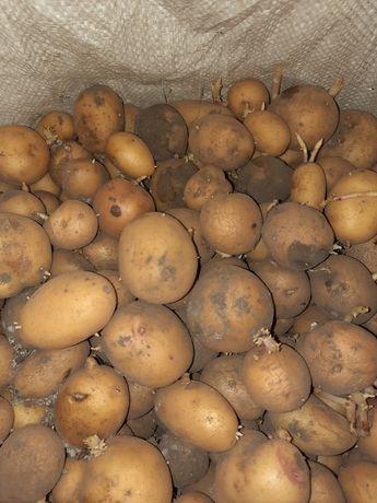 Картопля на корм тваринам