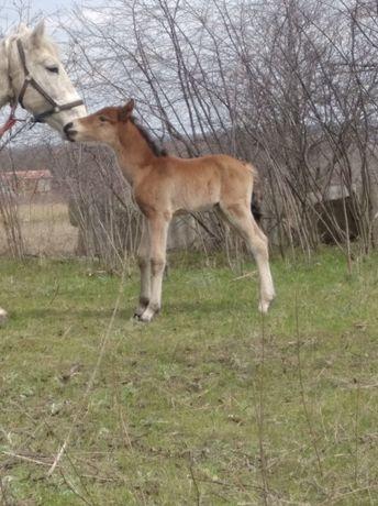 Продам коня, лошадь, лоша, жеребенок, жеребец