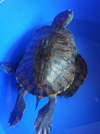 Большие красноухие черепахи(пара)