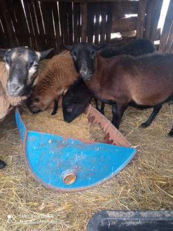 Owce kamerunskie 7 sztuk