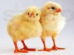 Цыплята бройлера суточные и подрощенные Cobb 500