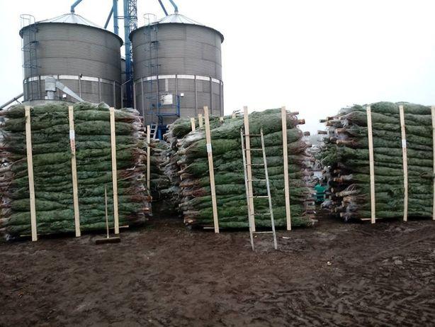 Jodła Kaukaska Hurt 180-270 cm Posiadamy każdy rodzaj choinki