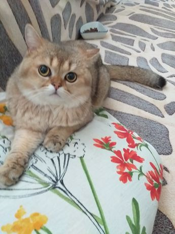 Шикарний золотий кіт на вязку!