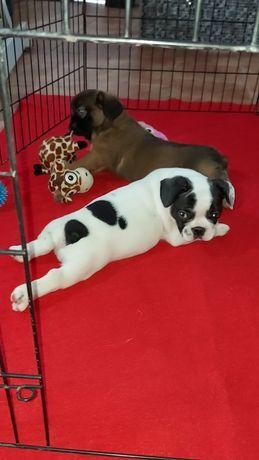 Bulldog francês pied pronto para entrega