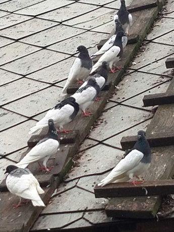 Sprzedam gołębie murzyny po przepuszczane 20zł/szt.