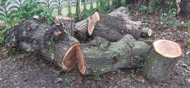 Дерево бересток та горіх