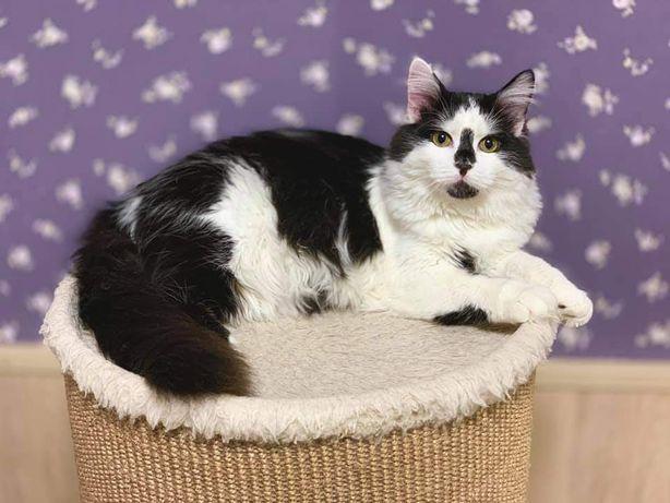 Отдам чёрно белого пушистого кота ,7 месяцев