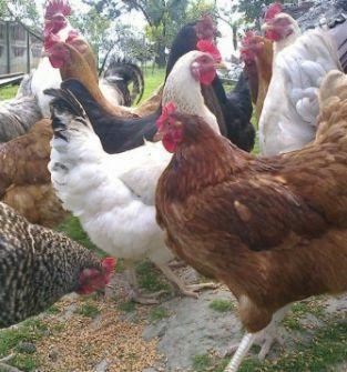 Kokoszki kolorowe kury kaczki gęsi perliczki brojlery