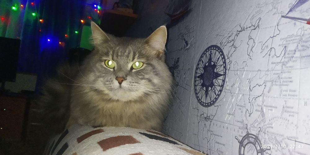 Сибирский котик ищет самочку для спаривания Светловодск - изображение 1