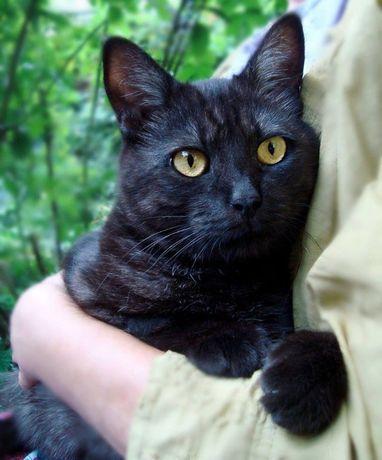 Молодая черная дымчатая кошка ищет дом