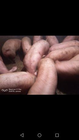 """Продам свиней 120-135 кг. М""""ясна порода."""