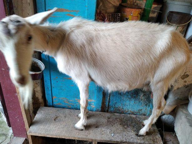 Продам козу молочної лінії