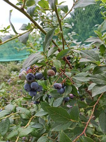 Owoce borówki amerykańskiej ekologiczne