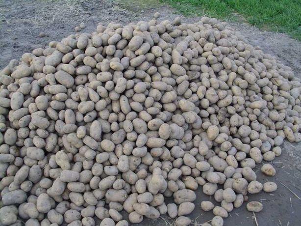 ziemniaki odpadowe niesortowane zeszłoroczne cena za 1 kg