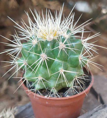Кактусы (Еchinocactus grusonii)