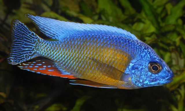 Piękne Pyszczaki Protomelas Taiwan Reef Malawi