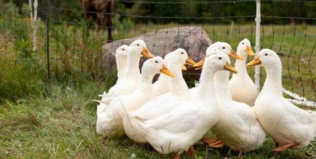 Инкубационные яйца утки