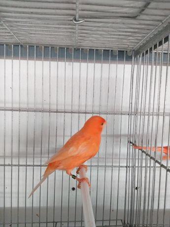 Canarios vermelhos