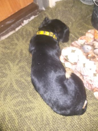 Найдена на улице Пушкина породистая собака!