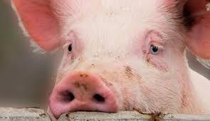 Свиньи домашние откорм славянск