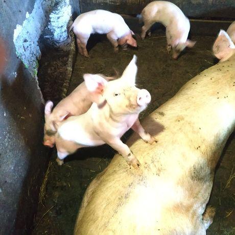 Продам свиней.