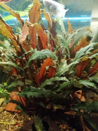 Nurzaniec ładny i inne rośliny do akwarium