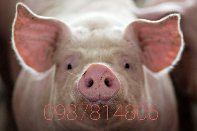 Продам Свині, поросята