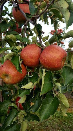 Sok jabłkowy tłoczony 5l
