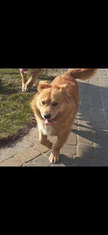 Oddam w dobre ręce psa 3 lata Borys czujny i posłuszny