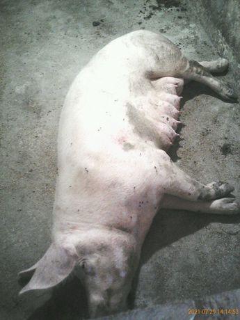 Продам свині (свиноматки). Поросята.
