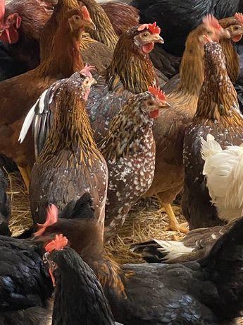 Galinhas para produção de ovos.