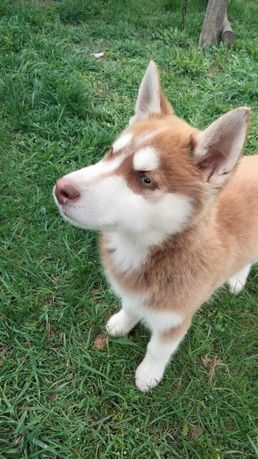 "Шикарный щенок ""Сибирский Хаски"""