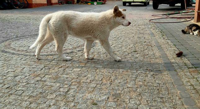 Sprzedam 5-miesięcznego psa Syberian Husky