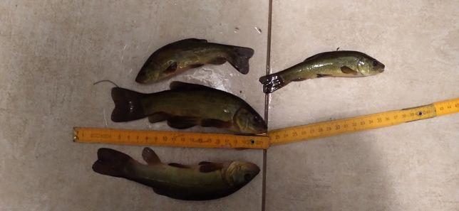 Liny lin ryba narybek żywiec
