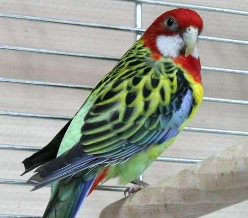 Розелла пестрая яркий попугай.