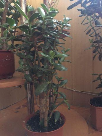 Денежное дерево, толстянка, суккулент