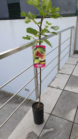 Figueira Pingo de Mel ,Figueira S.Joao Preta arvores de fruto